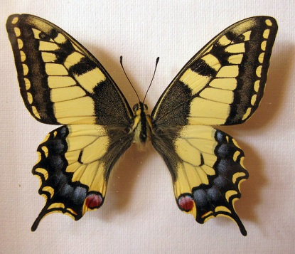 File:Papilio machaon female.jpg