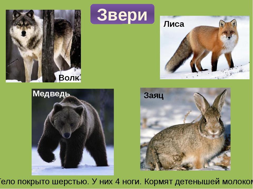 Звери Тело покрыто шерстью. У них 4 ноги. Кормят детенышей молоком. Волк Лиса...
