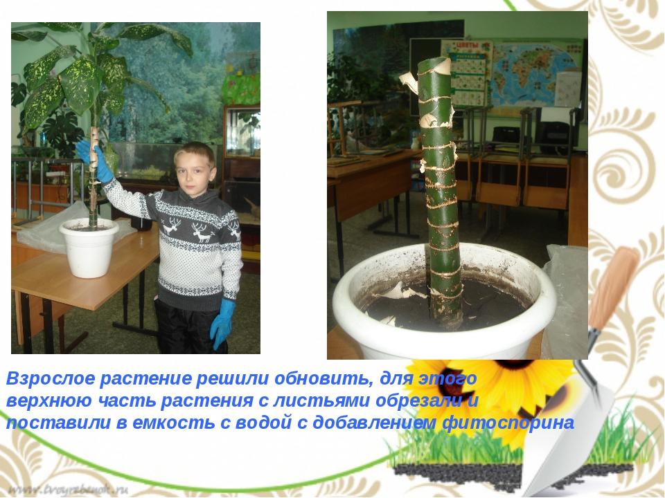 Взрослое растение решили обновить, для этого верхнюю часть растения с листья...