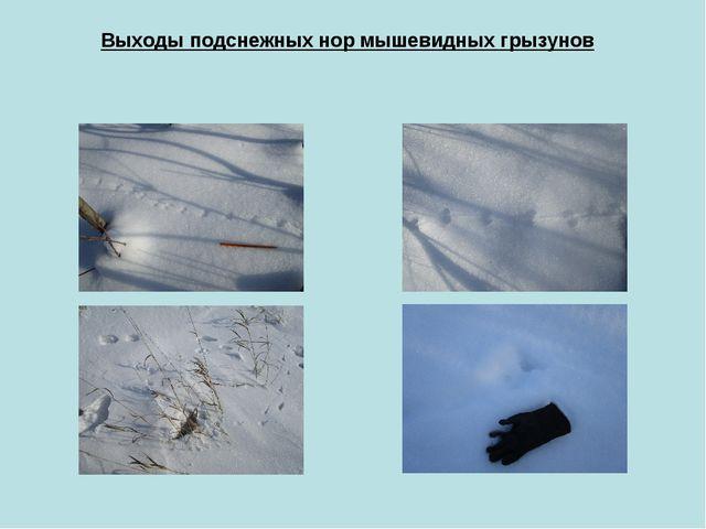 Выходы подснежных нор мышевидных грызунов