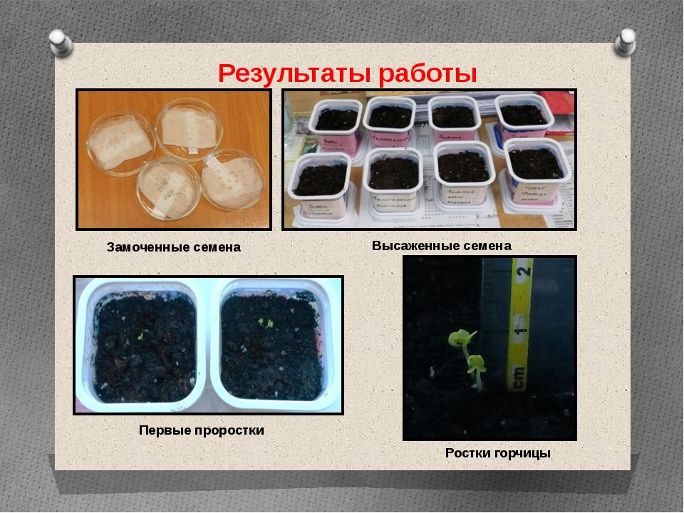 Результаты работы Замоченные семена Высаженные семена Первые проростки Ростки...