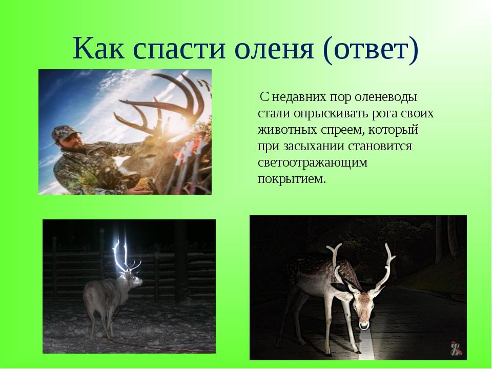 Как спасти оленя (ответ) С недавних пор оленеводы стали опрыскивать рога свои...