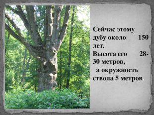 Сейчас этому дубу около 150 лет. Высота его 28-30 метров, а окружность ствола