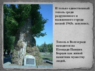 Тополь в Волгограде находится на Площади Павших Борцов как живой памятник му