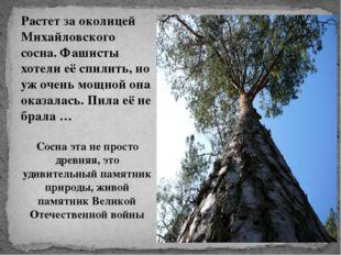 Растет за околицей Михайловского сосна. Фашисты хотели её спилить, но уж очен