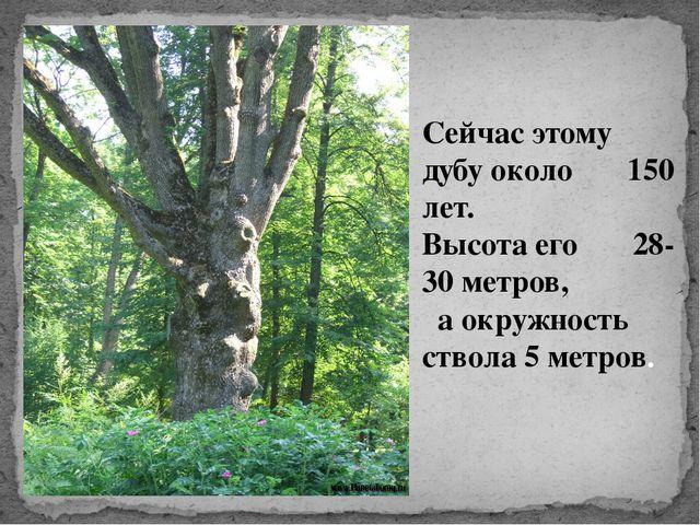 Сейчас этому дубу около 150 лет. Высота его 28-30 метров, а окружность ствола...