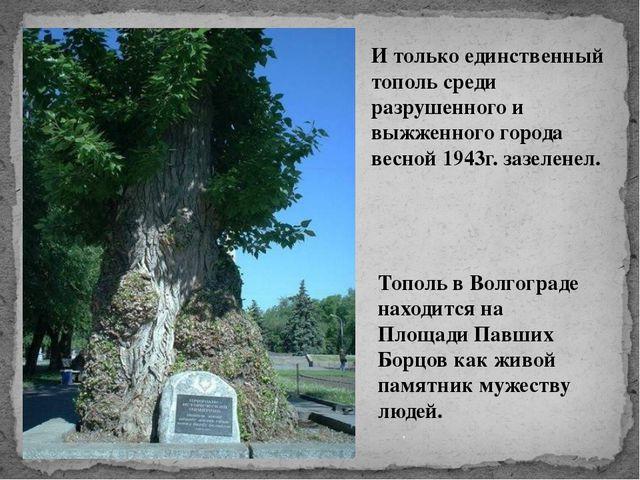 Тополь в Волгограде находится на Площади Павших Борцов как живой памятник му...