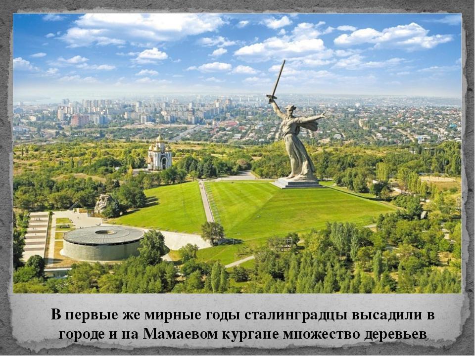 В первые же мирные годы сталинградцы высадили в городе и на Мамаевом кургане...