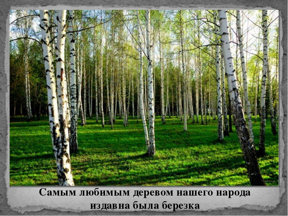 Самым любимым деревом нашего народа издавна была березка
