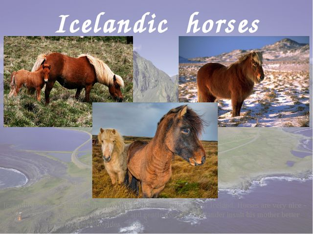 Icelandic horses Icelandic horses - a unique breed, which is characteristic o...