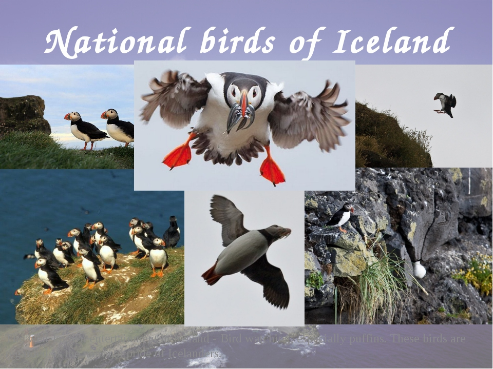 National birds of Iceland The well-known entertainment in Iceland - Bird watc...