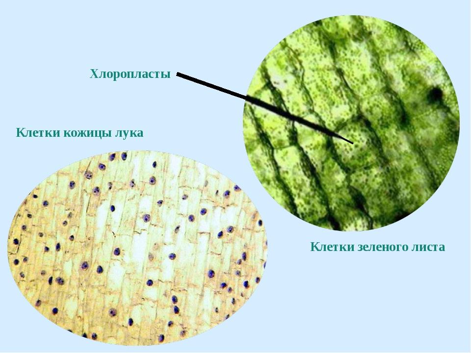 Клетки кожицы лука Клетки зеленого листа Хлоропласты
