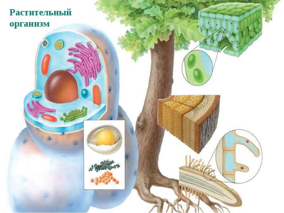 Растительный организм