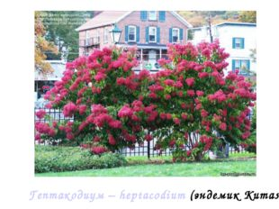 Гептакодиум – heptacodium (эндемик Китая)