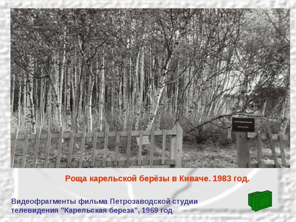 Роща карельской берёзы в Киваче. 1983 год. Видеофрагменты фильма Петрозаводск...