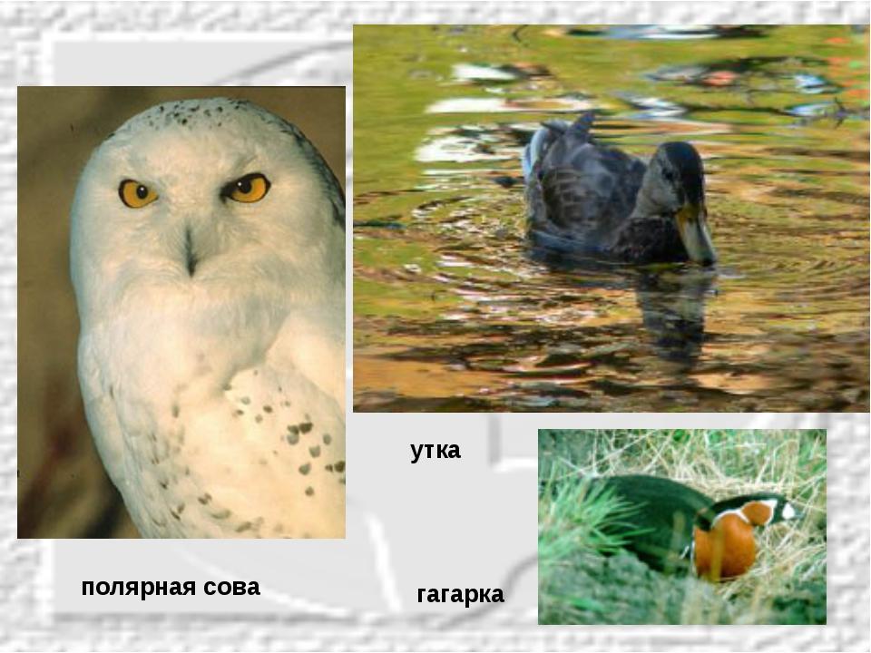 полярная сова гагарка утка