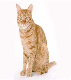 кот рыжий cats 6 40