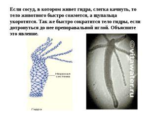 Если сосуд, в котором живет гидра, слегка качнуть, то тело животного быстро с