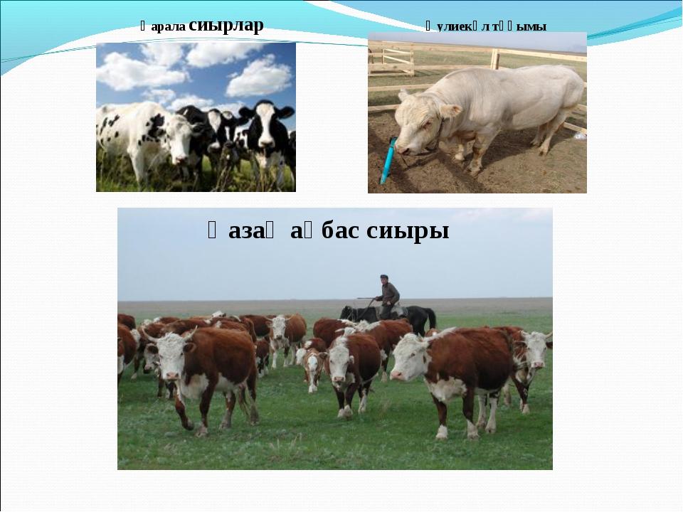 Қарала сиырлар Әулиекөл тұқымы Қазақ ақбас сиыры