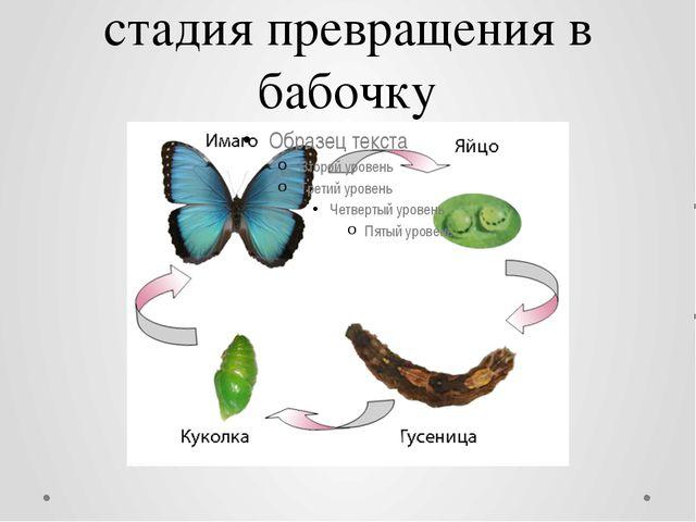 стадия превращения в бабочку