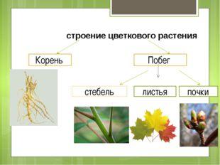 Корень Побег строение цветкового растения стебель листья почки