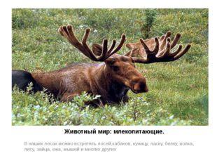 Животный мир: млекопитающие. В наших лесах можно встретить лосей,кабанов, ку