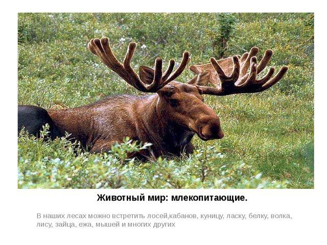 Животный мир: млекопитающие. В наших лесах можно встретить лосей,кабанов, ку...