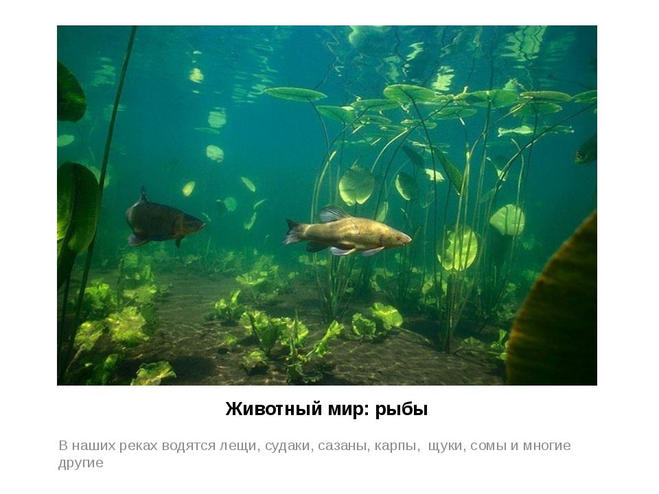 Животный мир: рыбы В наших реках водятся лещи, судаки, сазаны, карпы, щуки, с...