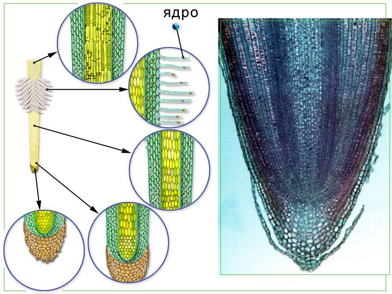Микроскопическое строение корня