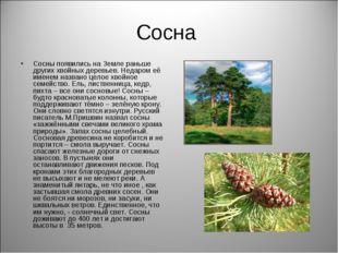 Сосна Сосны появились на Земле раньше других хвойных деревьев. Недаром её име
