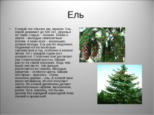 Ель Еловый лес обычно тих, мрачен. Ель порой доживает до 500 лет. Деревья не
