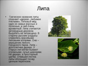 Липа Греческое название липы означает «дерево, любимое пчёлами». Липовый мёд