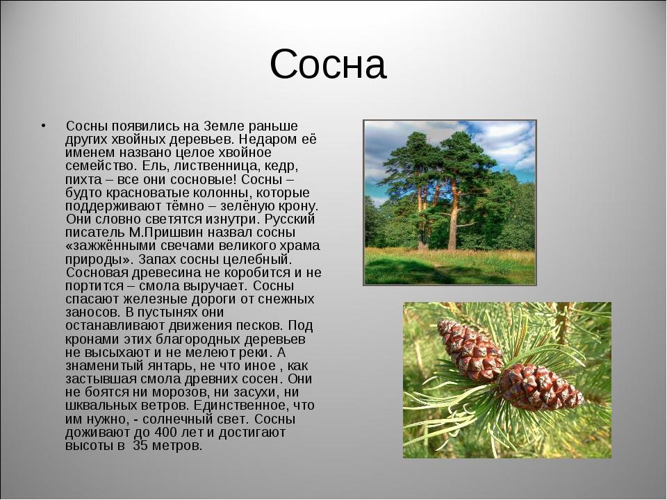 Сосна Сосны появились на Земле раньше других хвойных деревьев. Недаром её име...