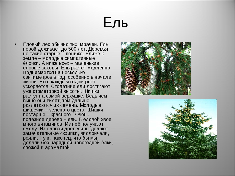 Ель Еловый лес обычно тих, мрачен. Ель порой доживает до 500 лет. Деревья не...