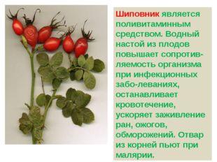 Шиповник является поливитаминным средством. Водный настой из плодов повышает