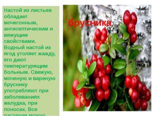 Настой из листьев обладает мочегонным, антисептическим и вяжущим свойствами.