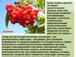 Ягоды калины красной об-ладают кровоостанавли-вающим свойством Ещё калина про