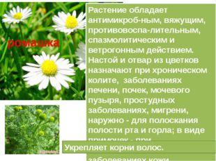 Растение обладает антимикроб-ным, вяжущим, противовоспа-лительным, спазмолити