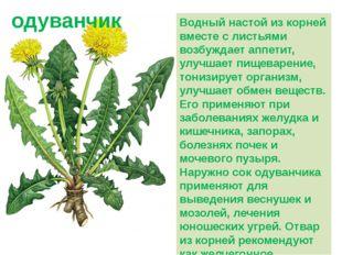 Водный настой из корней вместе с листьями возбуждает аппетит, улучшает пищева