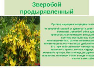 Зверобой продырявленный Русская народная медицина счита- ет зверобой травой о