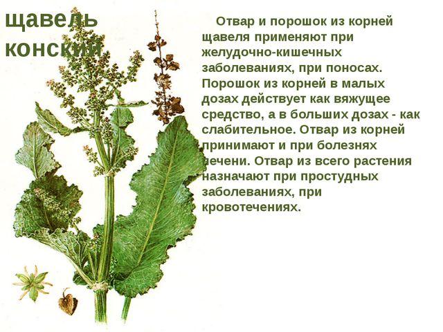 Отвар и порошок из корней щавеля применяют при желудочно-кишечных заболевани...