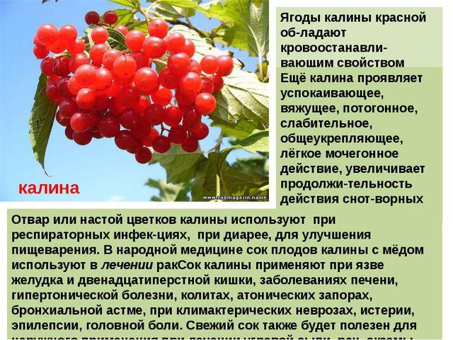 Ягоды калины красной об-ладают кровоостанавли-вающим свойством Ещё калина про...