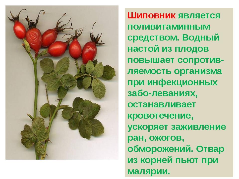 Шиповник является поливитаминным средством. Водный настой из плодов повышает...