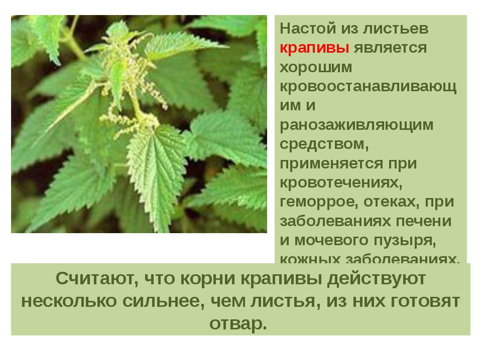 Настой из листьев крапивы является хорошим кровоостанавливающим и ранозаживля...
