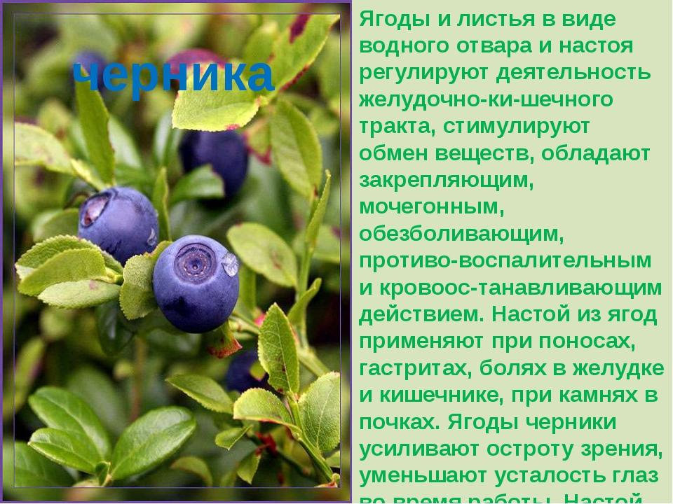 Ягоды и листья в виде водного отвара и настоя регулируют деятельность желудоч...