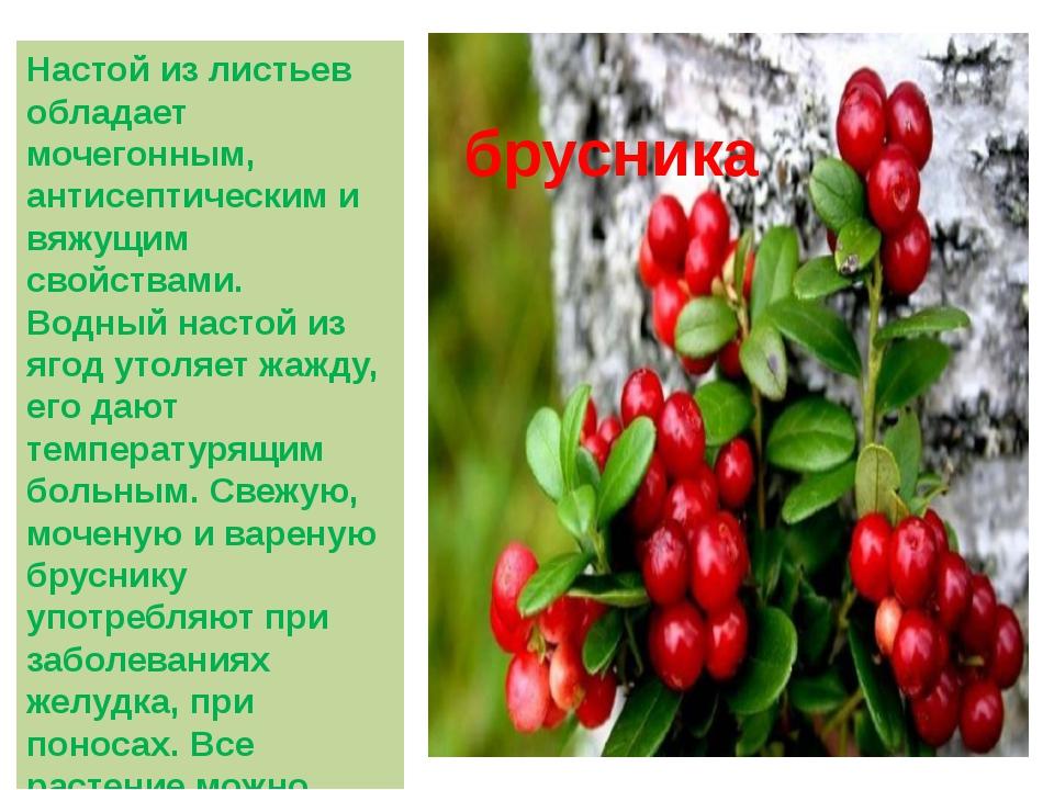 Настой из листьев обладает мочегонным, антисептическим и вяжущим свойствами....