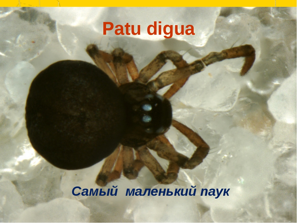 Patu digua Самый маленький паук