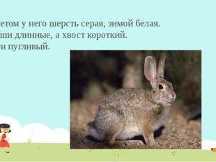 Летом у него шерсть серая, зимой белая. Уши длинные, ахвост короткий. Он пуг