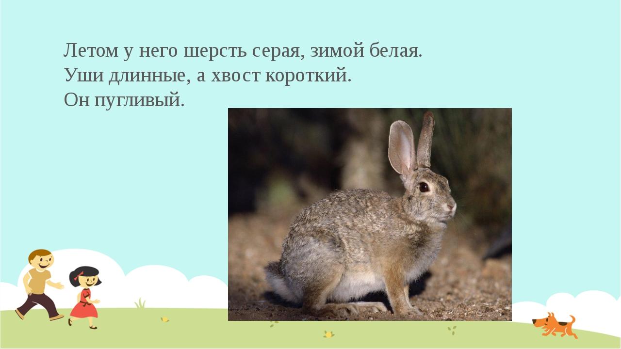 Летом у него шерсть серая, зимой белая. Уши длинные, ахвост короткий. Он пуг...
