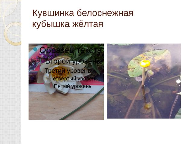 Кувшинка белоснежная кубышка жёлтая